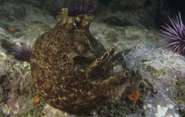 Aplysia sea mollusks, similar to this one, were used in the