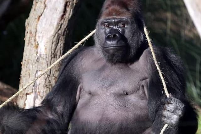 London Zoo gorilla returned