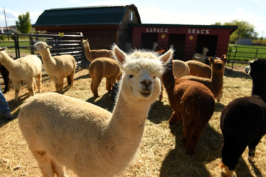 We couldn't find a pic of Michael Clarke's alpacas, so we used these guys from a farm in America because...