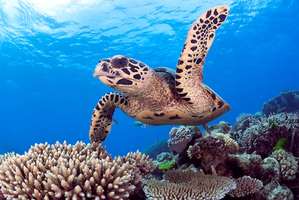 A Hawksbill Sea Turtle on the Great Barrier