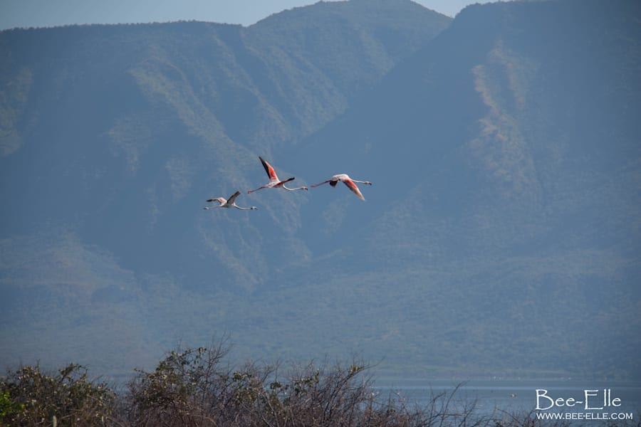 Greater flamingos take flight over Lake Bogoria, which is cradled by the Ngendele