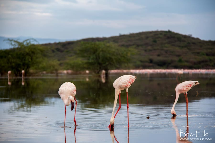 The unmistakable pink hue of the bird comes from the coloured pigments of carotenoids in blue-green algae,...