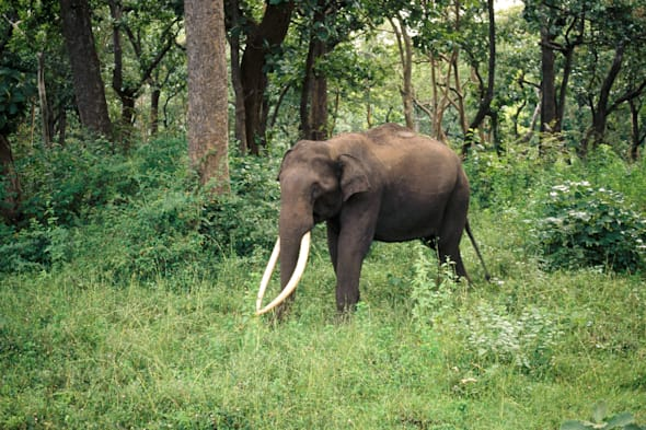 Elephant with joint tusks , Madumalai Wild Life sanctuary , Tamil Nadu , india