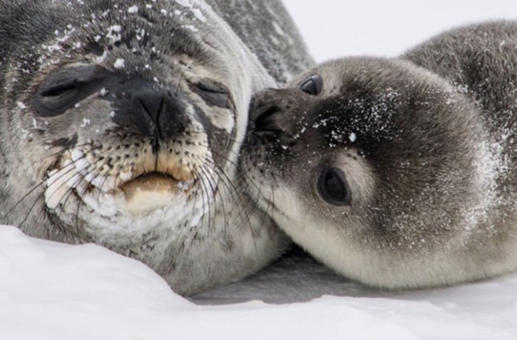 Photo of baby seal pup kissing mom goes viral and melts ...