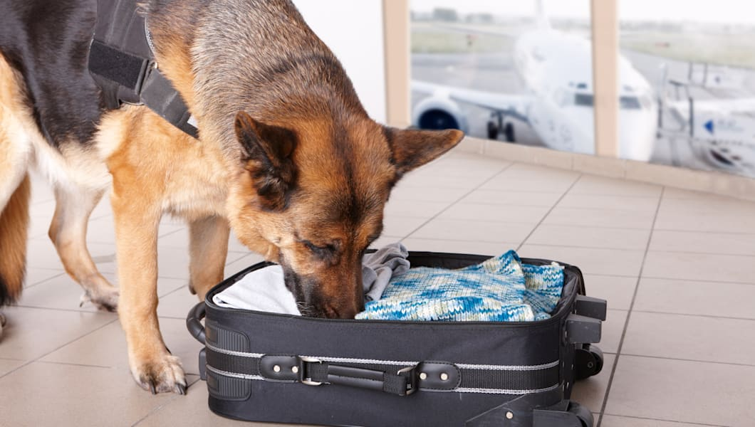 airport canine. dog sniffs out...
