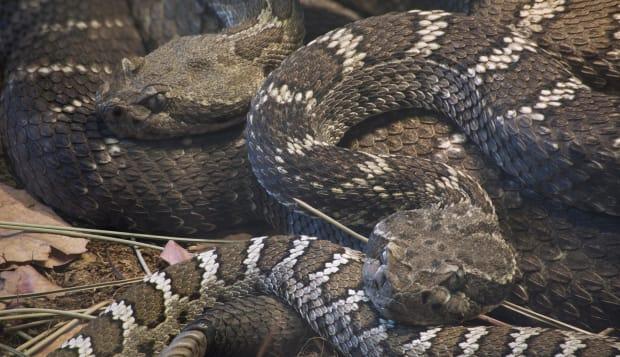 Arizona Black Rattlesnake, Crotalus Oreganus Cerberus
