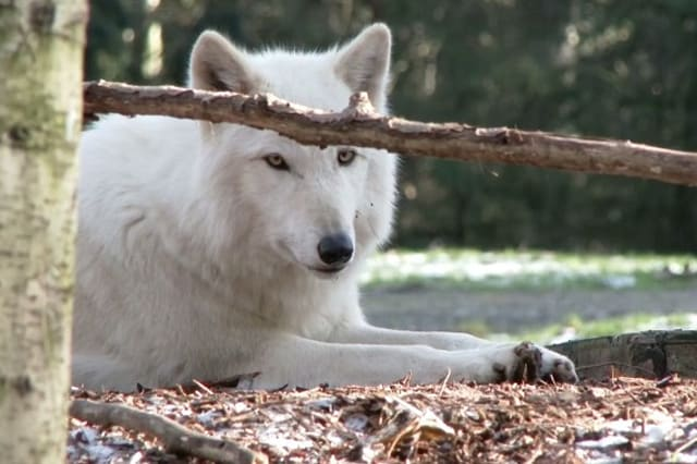 Norway clashes over controversial wolf cull