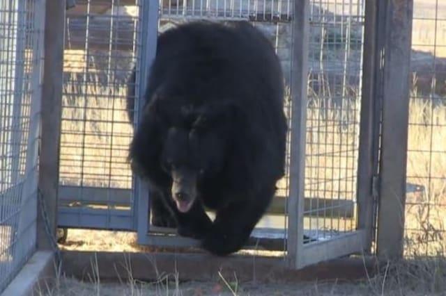 Bear held in roadside zoo is finally freed