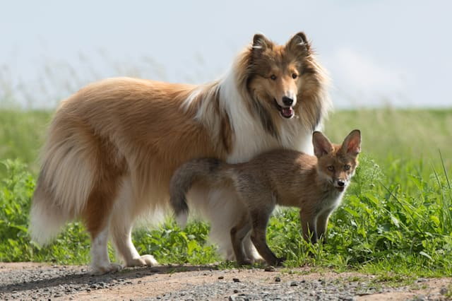 OBERSCHELD, GERMANY - JUNE 2014: Orphaned fox Dinozzo plays with the collie Ziva, in June 2014, in Oberscheld, Germany. AN ORPHANED fox rescued from a road-side accident has bounced back to health � thanks to a caring collie. The adorable three-week-old fox was found next to its dead mother who had been killed in a road traffic accident. He was inspected by a vet and brought to the home of Werner and Angelika Schmaing, from Oberscheld, Germany, where they care for a dog, a cat and two piglets. It was there the tiny fox named Dinozzo found its new mother � a Collie called Ziva. Under its watchful care the fox has gone from strength to strength � and has now begun to believe it is one of the dogs.PHOTOGRAPH BY Animal Press / Barcroft MediaUK Office, London.T +44 845 370 2233W www.barcroftmedia.comUSA Office, New York City.T +1 212 796 2458W www.barcroftusa.comIndian Office, Delhi.T +91 11 4053 2429W www.barcroftindia.com
