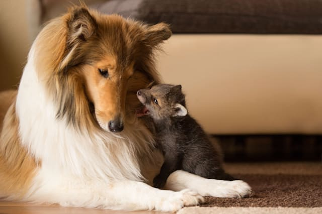 OBERSCHELD, GERMANY - JUNE 2014: Orphaned fox Dinozzo pictured at just a few weeks old with the Collie called Ziva, in June 2014, in Oberscheld, Germany. AN ORPHANED fox rescued from a road-side accident has bounced back to health � thanks to a caring collie. The adorable three-week-old fox was found next to its dead mother who had been killed in a road traffic accident. He was inspected by a vet and brought to the home of Werner and Angelika Schmaing, from Oberscheld, Germany, where they care for a dog, a cat and two piglets. It was there the tiny fox named Dinozzo found its new mother � a Collie called Ziva. Under its watchful care the fox has gone from strength to strength � and has now begun to believe it is one of the dogs.PHOTOGRAPH BY Animal Press / Barcroft MediaUK Office, London.T +44 845 370 2233W www.barcroftmedia.comUSA Office, New York City.T +1 212 796 2458W www.barcroftusa.comIndian Office, Delhi.T +91 11 4053 2429W www.barcroftindia.com