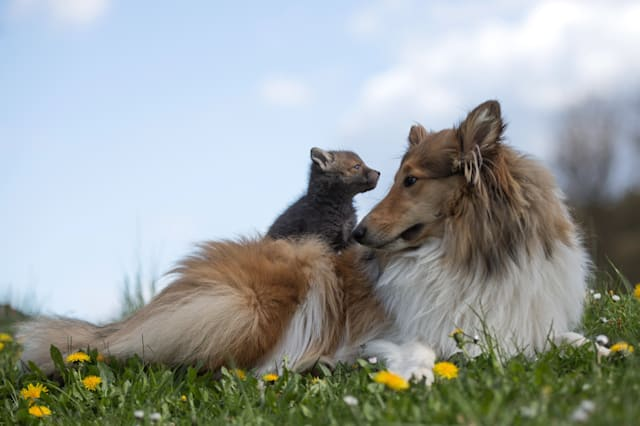 orphaned fox rescued by collie
