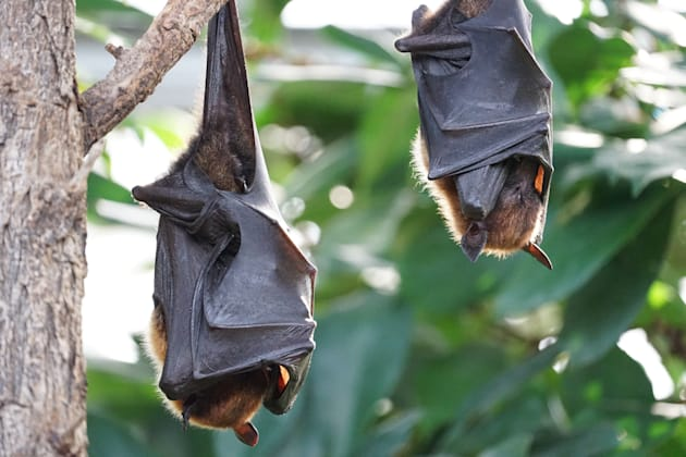 Flying foxes look menacing, but they're