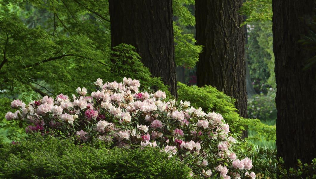 Rhododendrons (Azalea), Crystal Springs Rhododendron Garden, Portland, Oregon, USA