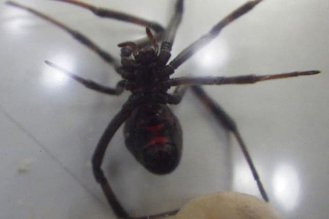 Black Widow spider tries to sneak onto plane to UK