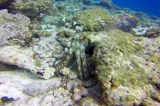 Can you spot the shape-shifting octopus?