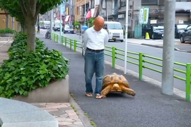 Reuters giant African tortoise walking Tokyo