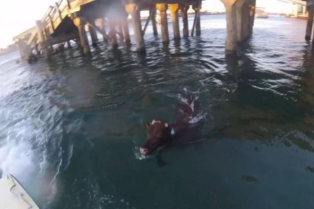 Cow jumps into sea
