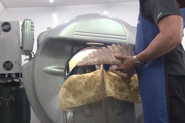 13-foot alligator gets CT scan