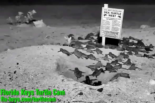 FloridaKeysTV Turtle hatch