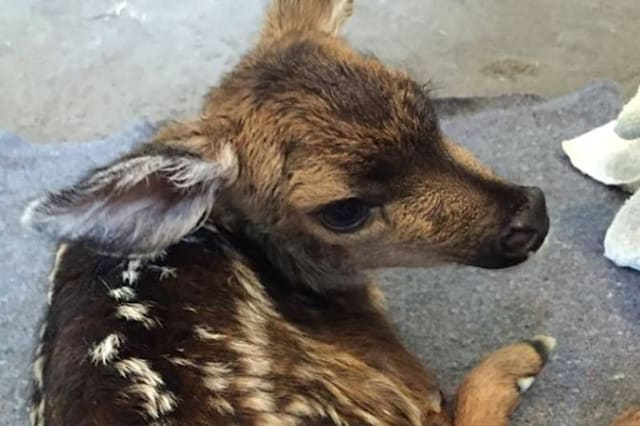 Tourist delivers baby deer by caesarean after mother was hit by a truck