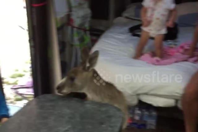 Kangaroo jumps into family campervan