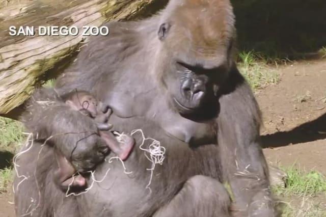 Gorilla born at San Diego zoo