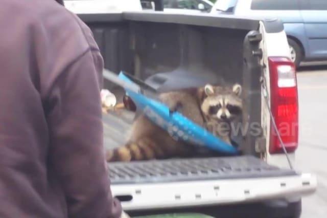 Raccoon stuck in bin lid