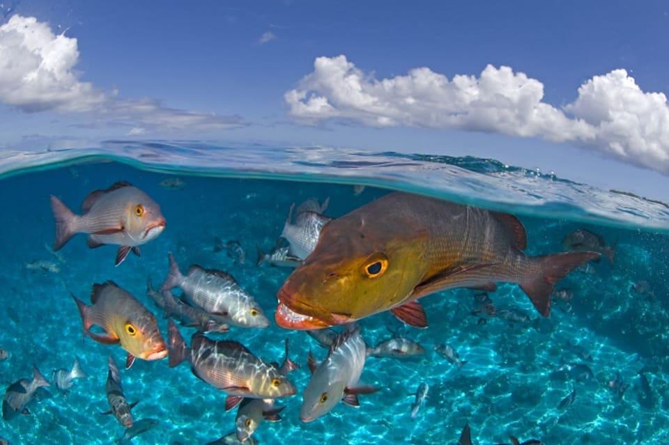 Bohar Snapper, Aldabra Atoll,