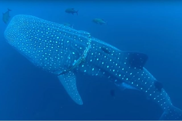Brave diver cuts giant whale shark free from fishing rope