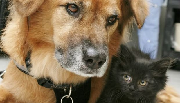 Boots the nanny dog cuddles a kitten at Arizona Humane Society shelter.