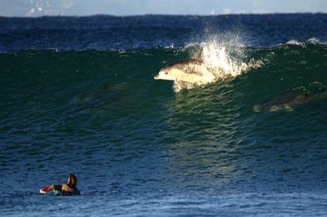 Dolphin breaks through water in Jeffreys Bay as surfers look on