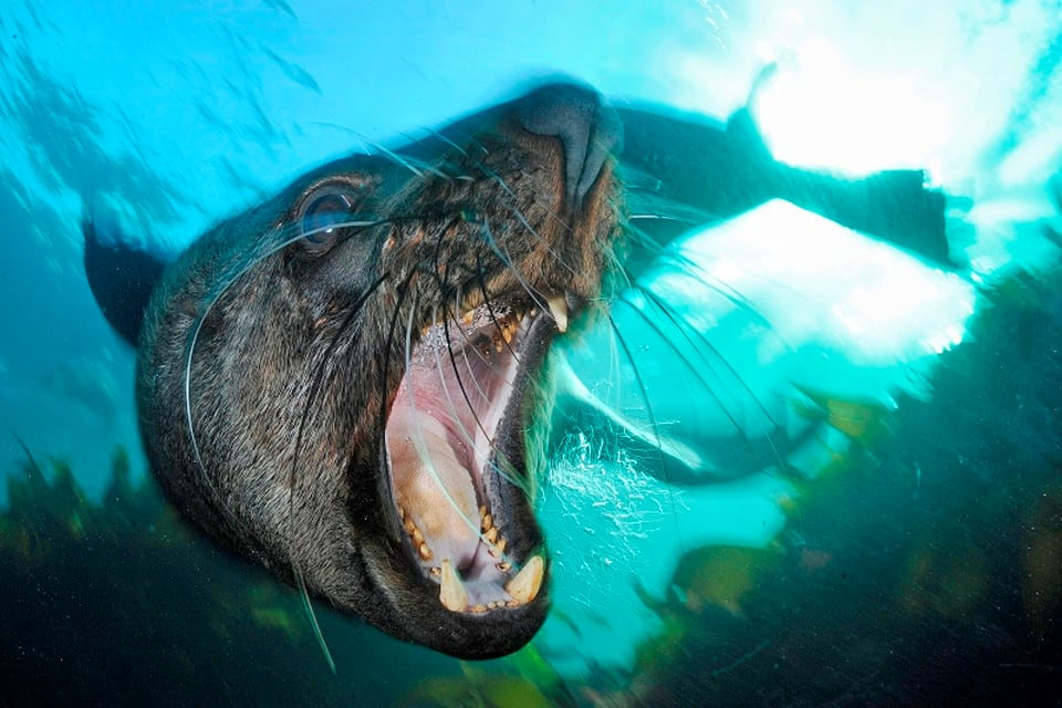 With his underwater lense, Peschak often needs to get within one metre of an animal. Sometimes