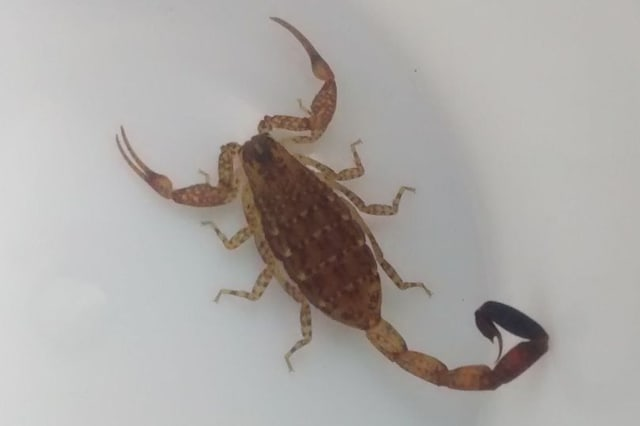 Family brings home deadly scorpion from Mexican holiday