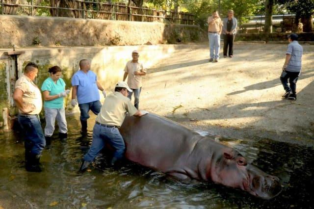 Gustavito the hippo beaten to death