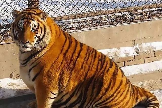 World's fattest tigers become unlikely tourist attraction