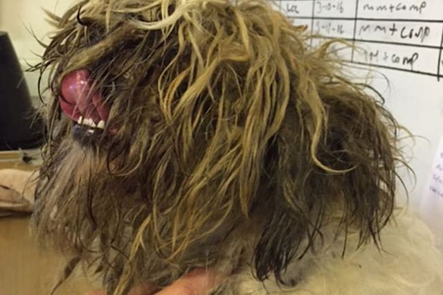 The little dog covered in hair and dirt