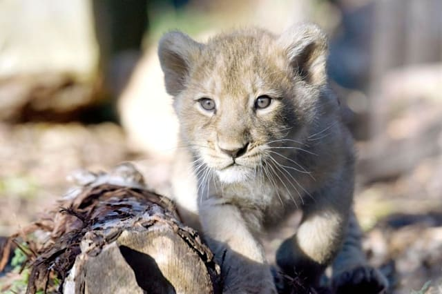 Zoo appeals for leftovers for lions