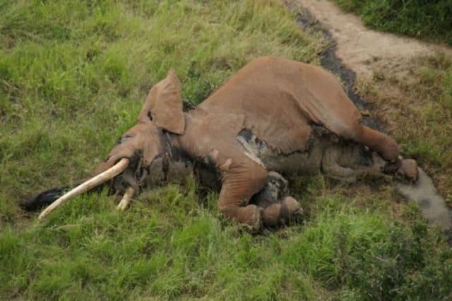 Poachers kill one of Africa's oldest elephants