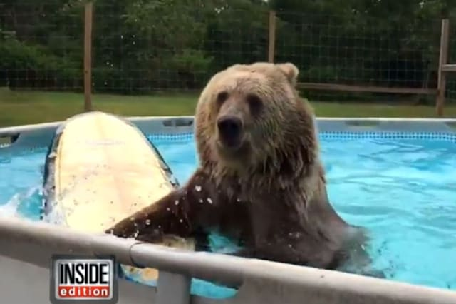 Syrian brown bear swims in pool