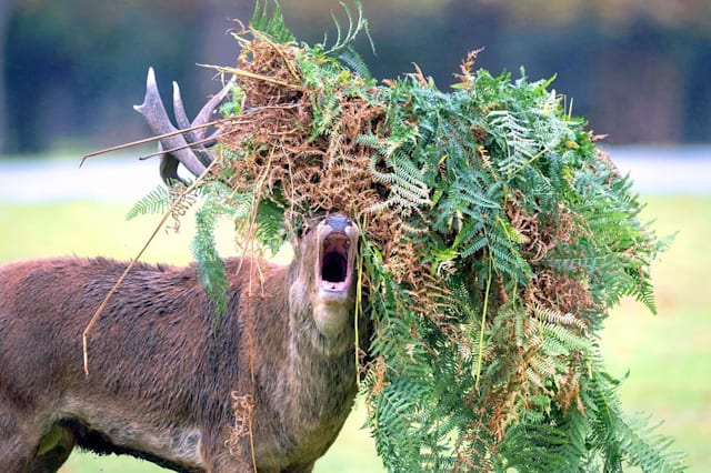 Unlucky stag has a bad hair day
