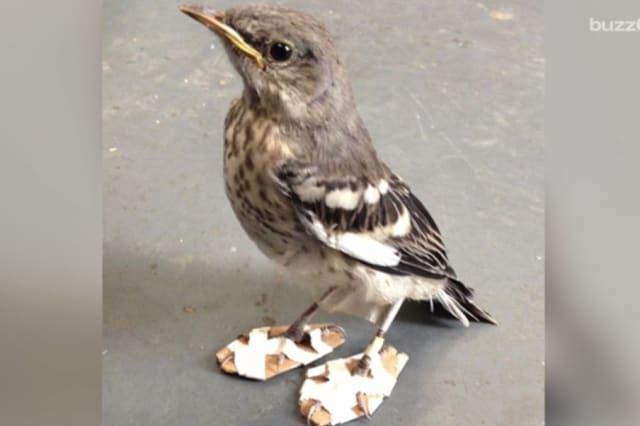 Tiny mockingbird gets new snow shoes