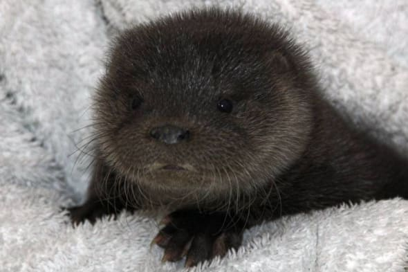 Rescued baby otter, Scotland