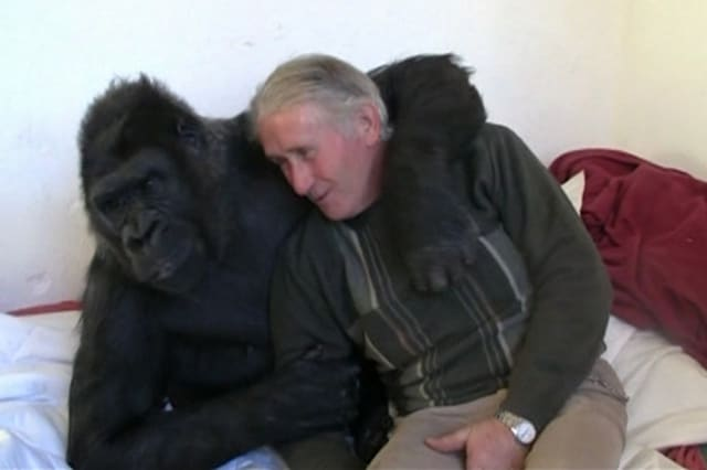 Couple live with gorilla for 18 years
