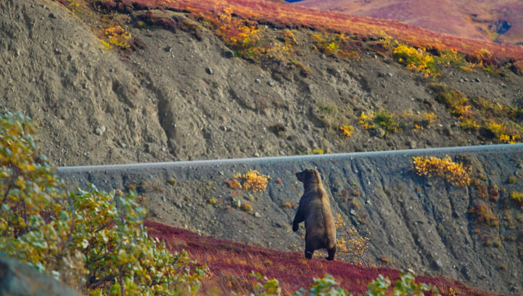 Grizzly bear standing near the road with fall color, Denali National Park and Preserve, Alaska, United States of America.