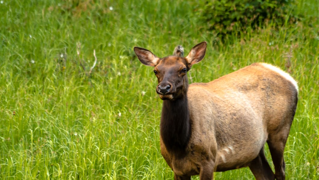 Large female elk cow standing in meadow of green grass
