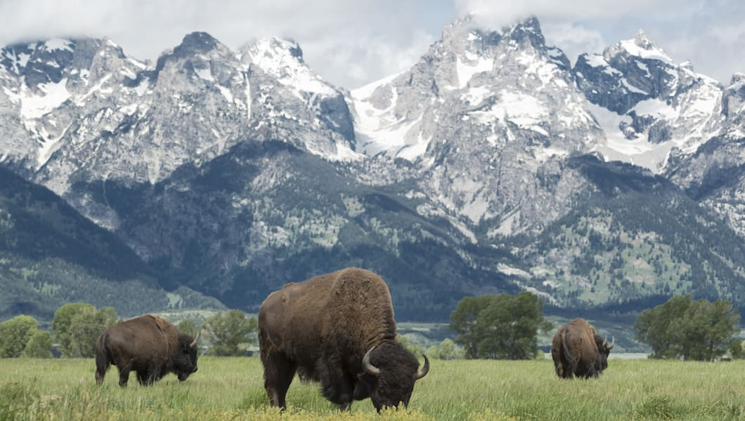 American buffalo or bison grazing on the plains in Grand Teton national park with the mountain range behind.
