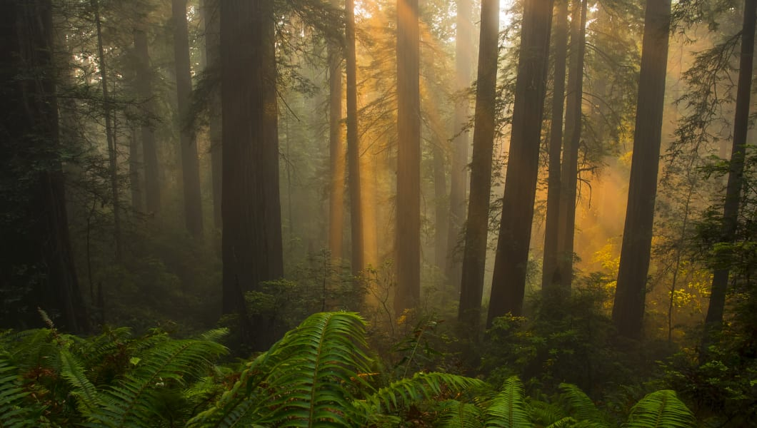 Sunrays shining through foggy old growth redwood trees in Redwood National and State Parks.