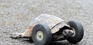 turtle gets wheels
