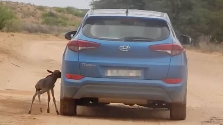 Baby wildebeest thinks this passing car is its mother