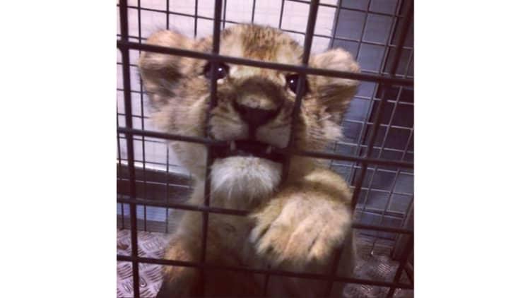 Police find lion cub in Lamborghini on Champ-Elysses